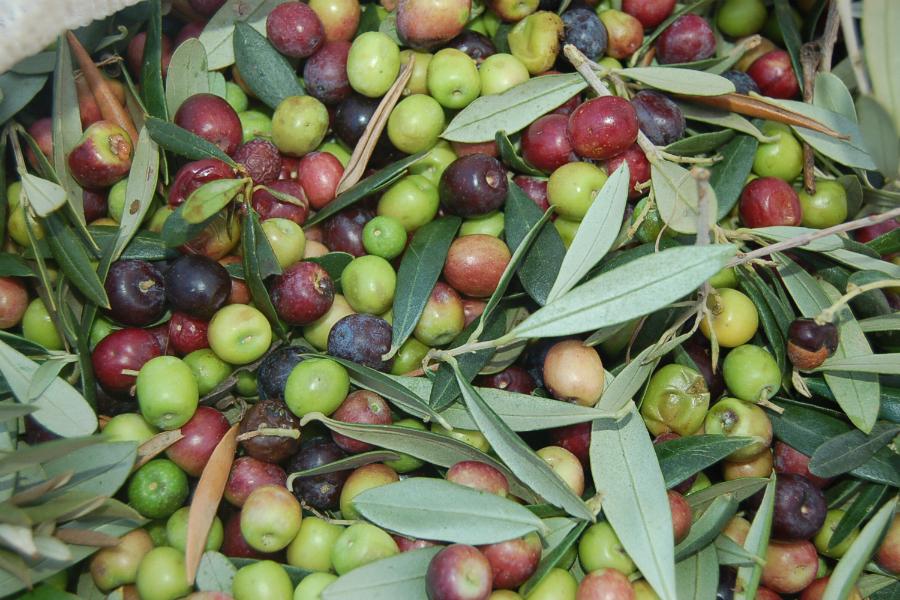 olives senderisme mont-roig miami ruta 4